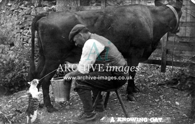 Lancashire Cats Arnside A Knowing Cat drinking milk from cow udder 1904 CMc