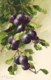Christina Klein, Fruit, Black Grapes MD