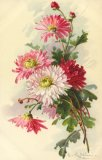 Christina Klein, Flowers, Chrysanthemums MD
