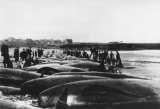 Whales driven ashore at Thurso Scotland 1899
